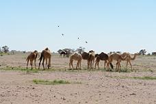 d39_camel-herd.JPG