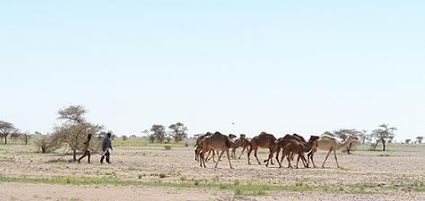 greetingcard-camelherds.jpg